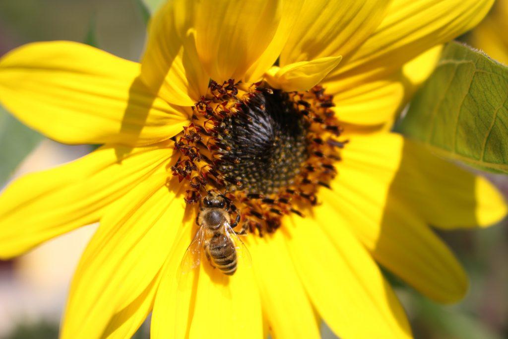Pestujeme pre včely. Autor: Jana Mahútová